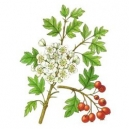 Biancospino fiori mondi,Crataegus oxiacantha
